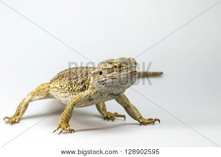 Agama lizard is standing almost facing the camera. Everything is on a light background.
