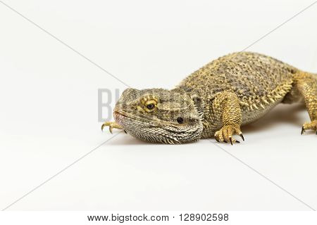 Closeup side view of Agama lizard lyiing on a light background. Agama has bowed head. The free space fot your text is on the left side of the photo.