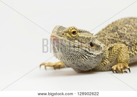 Closeup side view of Agama lizard lyiing on a light background. Agama is crouching and looking up.