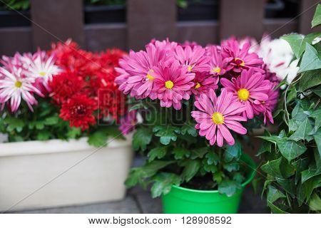 Decorative Pink Gerbera Flowers In Flowerpots Outdoors