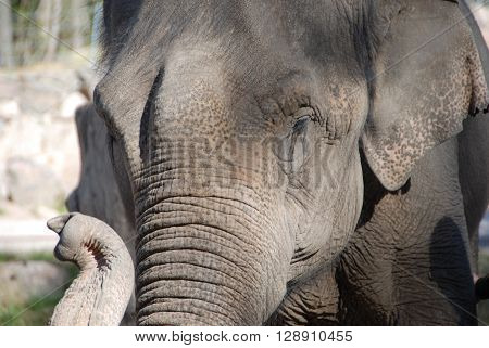 Old Asian elephant with wrinkles in grey