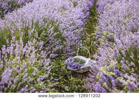 Lonely basket with freshly picked lavender flowers