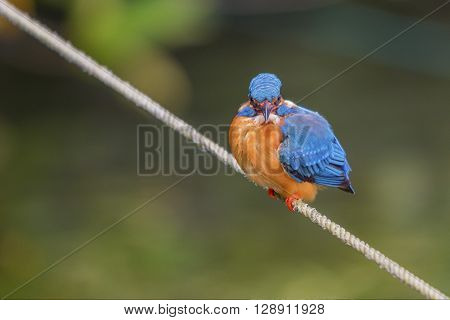 Beautiful kingfisher (Alcedo atthis taprobana) is sitting on a rope