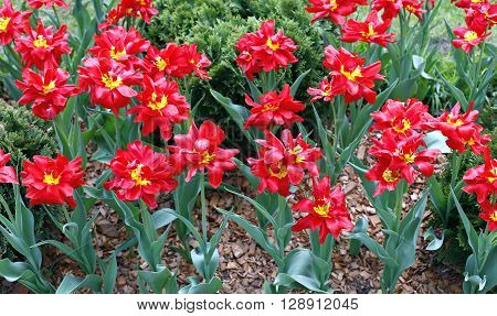 Many of bright red terry tulips on a flowerbed