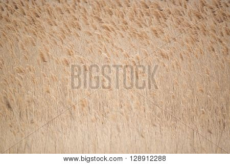Minimalistic background with field of dry reed