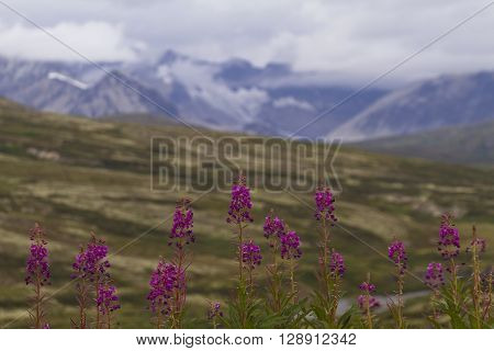 Selected focus on wildflowers in bloom along Haines Highway with snow and fog of St. Elias Mountain Range behind. Copy space on horizontal image.
