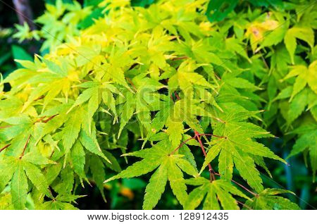 Autumn maple leaves texture. Yellow and green foliage of early fall season. Nature background wallpaper. Selective focus and shallow DOF