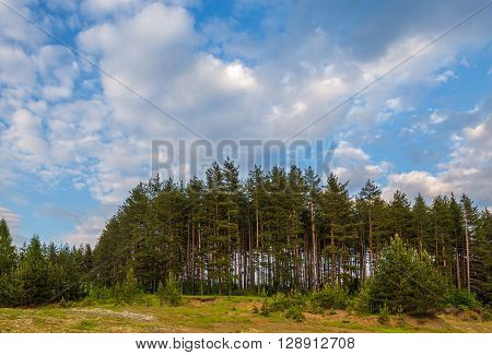 Tall coniferous trees and cloudy sky background