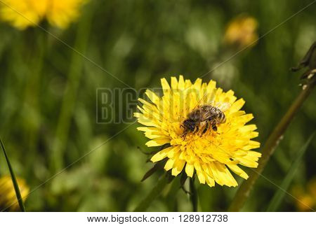 Bee closeup on yellow blowball macro photo