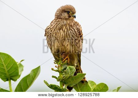 Common Kestrel perched on a thorn bush in a field near Bangalore India.