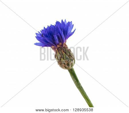 Flowers cornflowers on a white background bluebottle, asteraceae,
