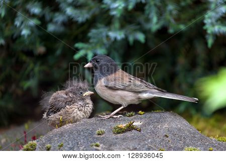 Dark-eyed Junco bird mother and baby chick perched on rock in garden backyard in Oregon