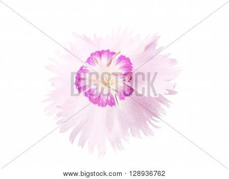 decorative carnation on a white backgroundl, nature, single, botany,