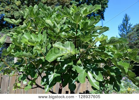 fig tree displaying fruit under sunny blue sky