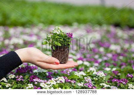 seedling holding Close up of pretty pink, white and purple Alyssum flowers, of the Cruciferae annual flowering plant