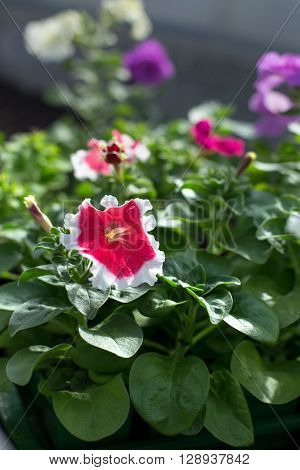 Red and white flower Petunias in the garden, seasonal blooms