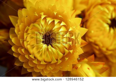 Deep yellow strawflowers, Helichrysum, everlasting daisies, in closeup.