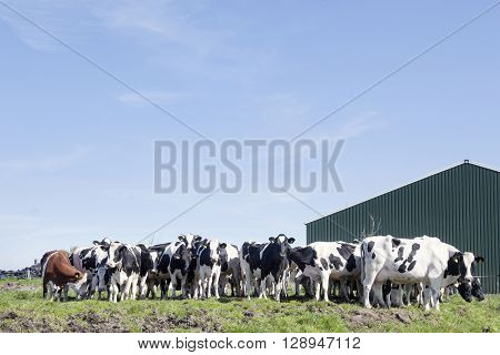 black and white cows in green grassy dutch spring meadow under blue sky in holland with farm building in the background