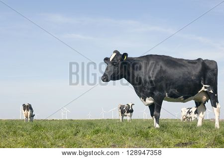 black and white cow in sunny dutch green meadow under blue sky on beautiful day in Holland with other cows and wind turbines in the background