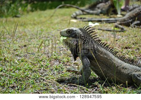 Iguana is eating its food on the ground.