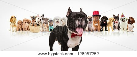 happy french bulldog puppy wearing bowtie sticking out tongue and having fun in front of a large group of dogs of different breeds on white background