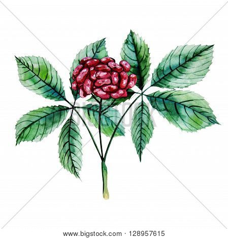 Watercolor ginseng berries isolated on white background. Natural spices