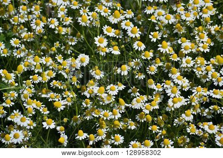 Closeup of fresh blooms of chamomile in a sunny spring day