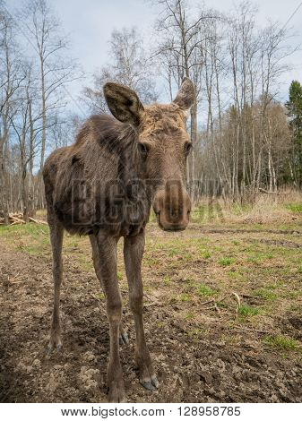 melancholic sad elk moose animal in spring forest