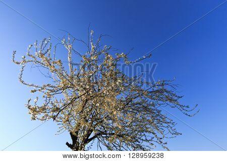 Against the blue sky in spring blooming plum.