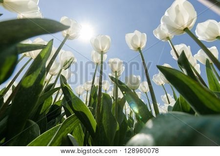 White tulips flowers growing over blue sky background. Wide angle view with sunny flair photographed from below.