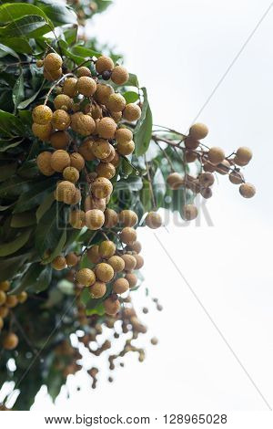 longan tropical fruit on tree with rain in farm agriculture