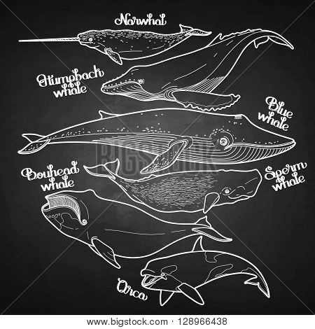 Collection of graphic whales isolated on chalkboard. Vector giant sea and ocean creatures in black and white colors.