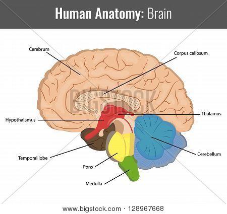 Human Brain detailed anatomy. Vector Medical illustration.
