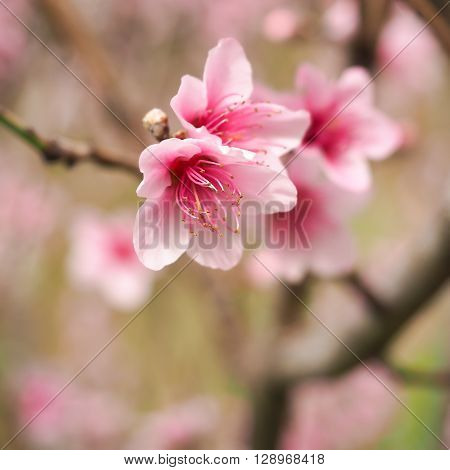 Bright pale pink peach blossoms with distinct dark pink stamens.