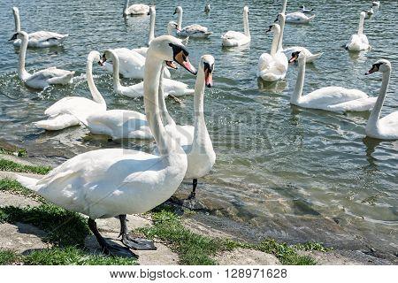 Beautiful Swans - Cygnus. Birds scene. Waterfowl on the lake shore. Beauty in nature. Animal theme.