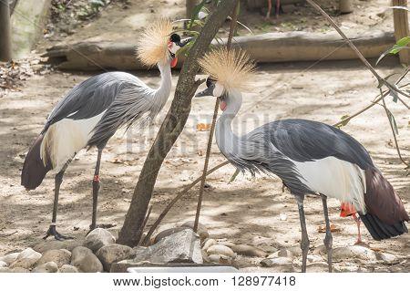 Balearica regulorum Grey crowned crane, resting relaxed