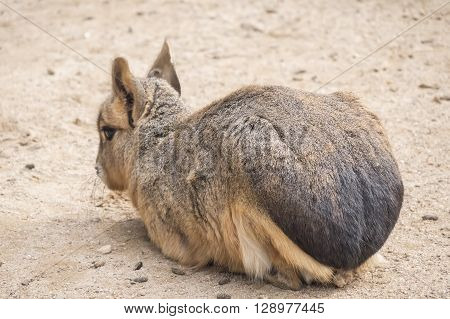 Dolichotis patagonum Patagonian mara, resting relaxed in the sand