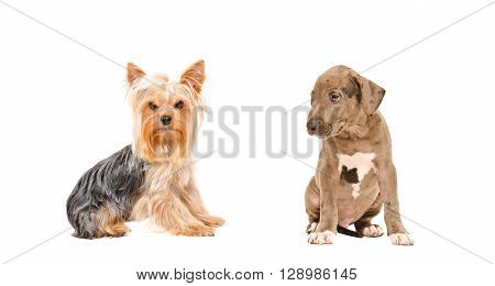Yorkshire terrier and puppy Pit bull sitting together isolated on white background