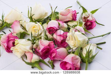 Many Slightly Faded Rosebuds On White