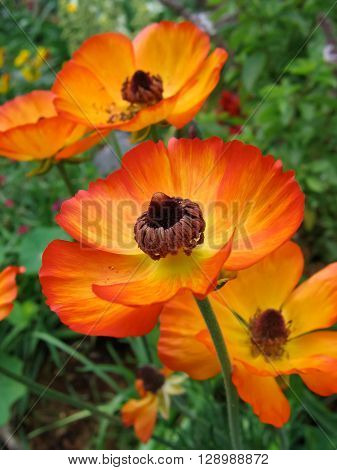 A group of bright orange and yellow Ranunculus flowers, featuring the prominent stamens.