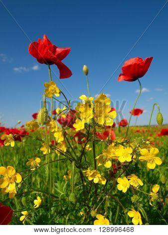 yellow wild flowers and red poppy
