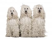 picture of standard poodle  - Three White Corded standard Poodles sitting in front of white background - JPG