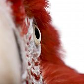 Close-up of Red-and-green Macaw, Ara chloropterus
