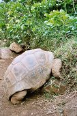 stock photo of the hare tortoise  - beautiful giant turtle at park of mauritius - JPG