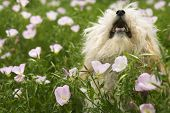 Fluffy small dog in flower field.