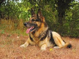pic of shepherdess  - A german sheperd dog portrait in the garden - JPG