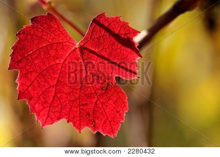 Colors Of Autumn Beaujolais Grapevine