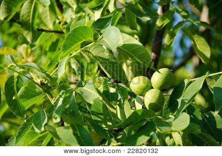 Frutos verdes nueces de árbol