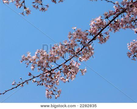 Sakura Cherry Blossom Flowers