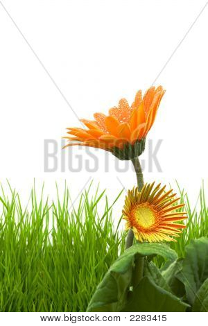Grass Isolated On A White